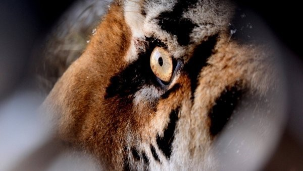 тигра оставят в карантине