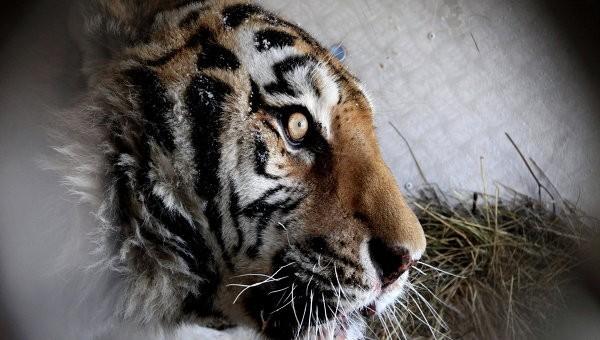 Тигра могут выпустить