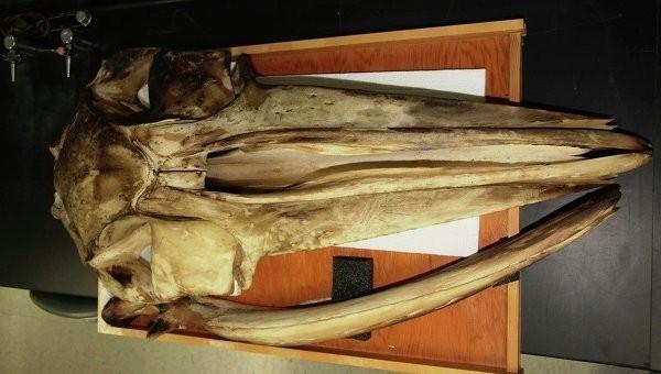 Беззубые киты используют кости