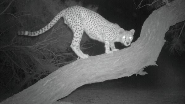 Экологи сфотографировали сахарского гепарда